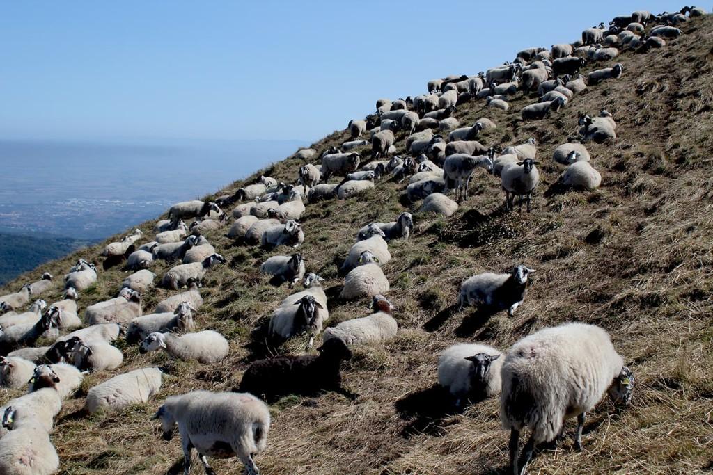 Moutons au sommet du Puy-de-dome